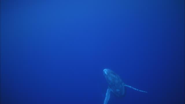 SLO MO WS Humpback whale (Megaptera novaeangliae) swimming in ocean / Moorea, Tahiti, French Polynesia