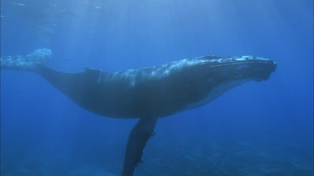stockvideo's en b-roll-footage met slo mo ms ws humpback whale (megaptera novaeangliae) swimming in ocean / moorea, tahiti, french polynesia - walvis