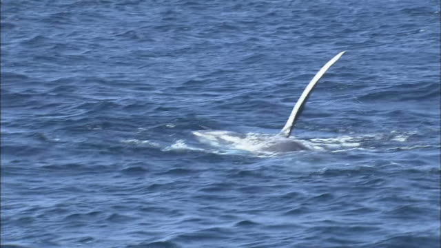 humpback whale swimming in ocean - fin whale stock videos & royalty-free footage
