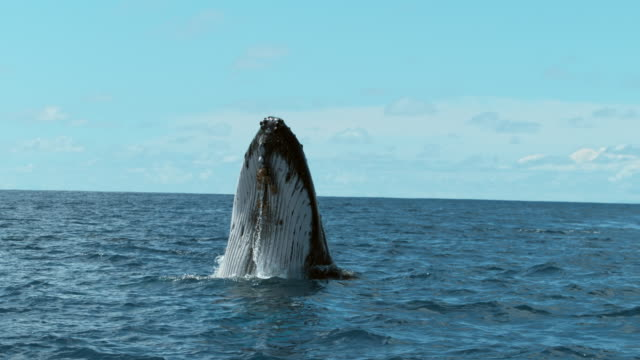 humpback whale swimming in the ocean near the equator - moving down stock videos & royalty-free footage