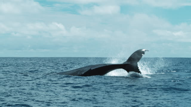 humpback whale swimming in the ocean near the equator - lobtailing stock videos & royalty-free footage