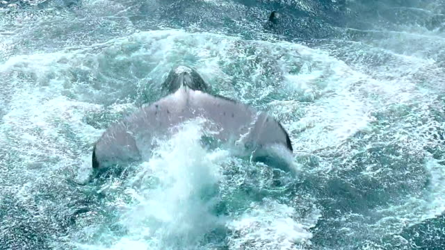 stockvideo's en b-roll-footage met humpback whale swimming in the ocean near the equator - documentairebeeld