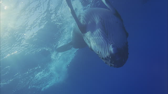 SLO MO MS Humpback whale (Megaptera novaeangliae) swimming on back underwater / Moorea, Tahiti, French Polynesia