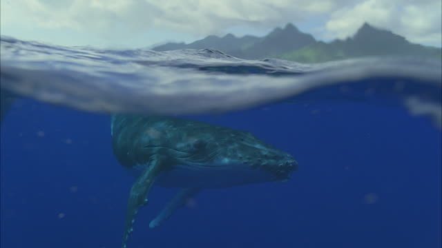 slo mo cu humpback whale (megaptera novaeangliae) swimming under water surface, island in distance / moorea, tahiti, french polynesia - telecamera traballante video stock e b–roll