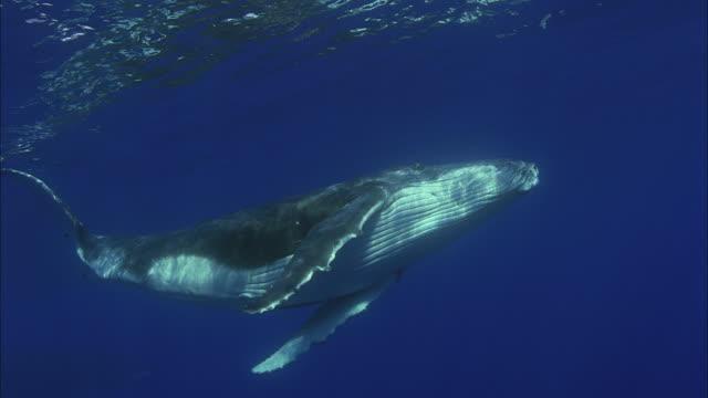 vídeos y material grabado en eventos de stock de slo mo ms humpback whale (megaptera novaeangliae) swimming underwater / moorea, tahiti, french polynesia - un animal