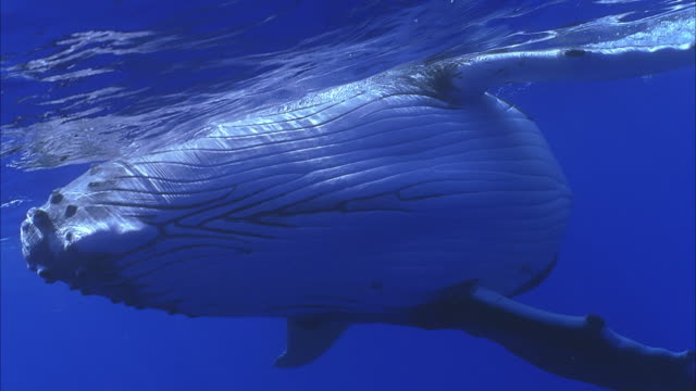 slo mo cu humpback whale (megaptera novaeangliae) swimming underwater / moorea, tahiti, french polynesia - animal fin stock videos and b-roll footage