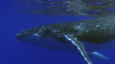 vídeos de stock e filmes b-roll de slo mo cu humpback whale (megaptera novaeangliae) swimming underwater / moorea, tahiti, french polynesia. - baleia de bossas