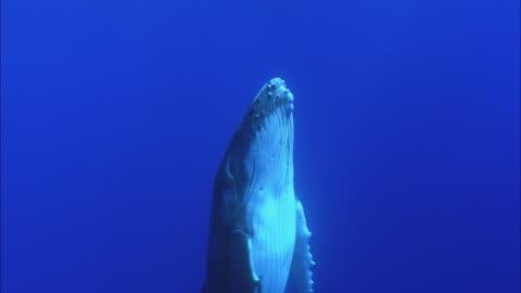 vídeos de stock e filmes b-roll de slo mo ms humpback whale (megaptera novaeangliae) swimming underwater / moorea, tahiti, french polynesia - baleia de bossas