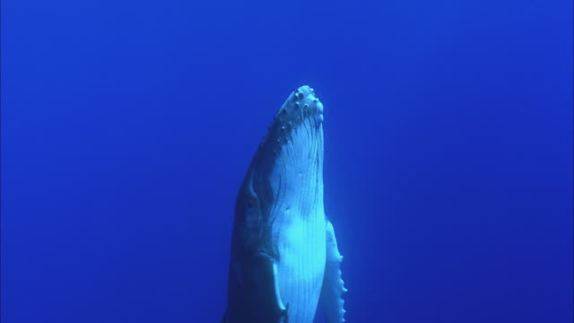 slo mo ms humpback whale (megaptera novaeangliae) swimming underwater / moorea, tahiti, french polynesia - tahiti video stock e b–roll