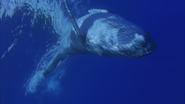 slo mo cu humpback whale (megaptera novaeangliae) swimming underwater / moorea, tahiti, french polynesia - cetacea stock videos & royalty-free footage