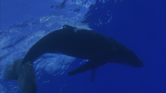 SLO MO MS LA Humpback whale (Megaptera novaeangliae) swimming underwater / Moorea, Tahiti, French Polynesia