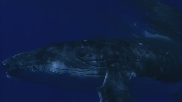 SLO MO CU Humpback whale (Megaptera novaeangliae) swimming underwater / Moorea, Tahiti, French Polynesia