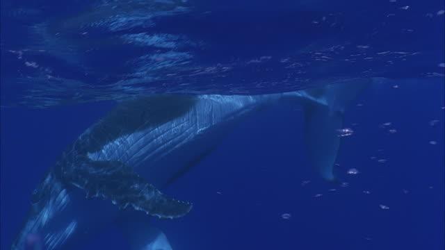 SLO MO MS Humpback whale (Megaptera novaeangliae) swimming underwater / Moorea, Tahiti, French Polynesia