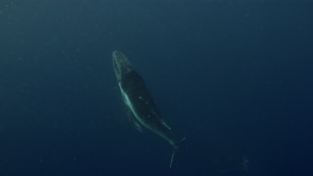 humpback whale swimming underwater of ocean near the equator - lobtailing stock videos & royalty-free footage