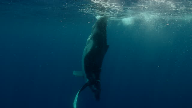 humpback whale swimming underwater of ocean near the equator - underwater stock videos & royalty-free footage