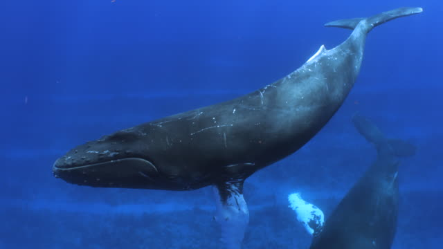 a humpback whale swimmings in open blue water - humpback whale stock videos & royalty-free footage