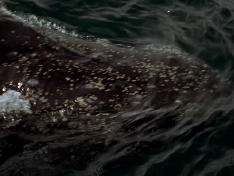 a humpback whale swims at surface in antarctica. - cetacea stock videos & royalty-free footage