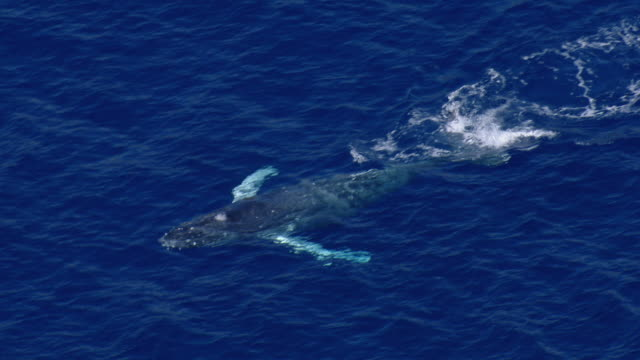 A humpback whale (Megaptera Novaeangliae), swims close to the surface, spouts, and disappears into the blue depths of the Pacific Ocean.