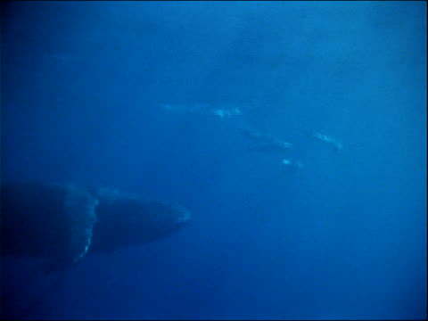 a humpback whale swims near porpoises. - ネズミイルカ点の映像素材/bロール