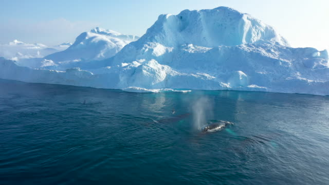 humpback whale swims next to an iceberg in the ilulissat icefjord on august 04, 2019 near ilulissat, greenland. the sahara heat wave that recently... - 氷河点の映像素材/bロール