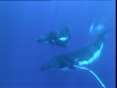 stockvideo's en b-roll-footage met humpback whale swims with calf, french polynesia - french overseas territory