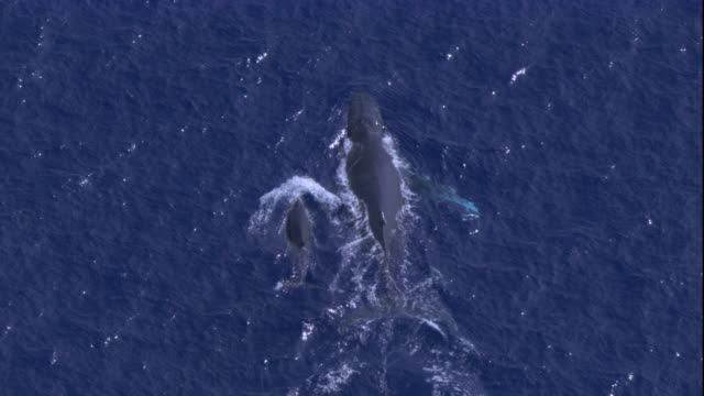 a humpback whale swims with its calf . available in hd. - humpback whale stock videos & royalty-free footage