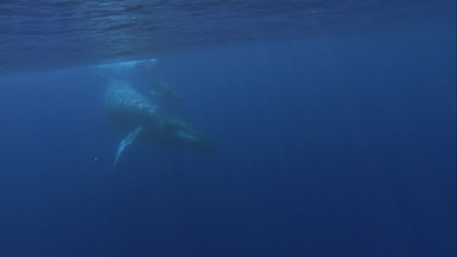 vídeos de stock, filmes e b-roll de a humpback whale swims with its calf. available in hd. - cetáceo