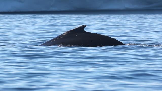 Humpback Whale Tail Fluke, Antarctica