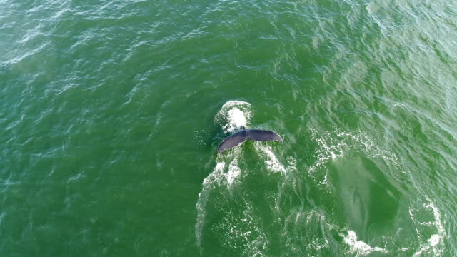 Humpback whale tail fluke in NYC