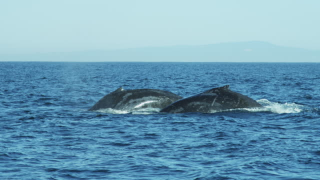 humpback whale tail fluke mammal swimming coastline california - whale stock videos & royalty-free footage