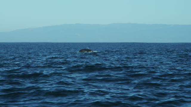 Humpback Whale tail Fluke mammal swimming Pacific Ocean
