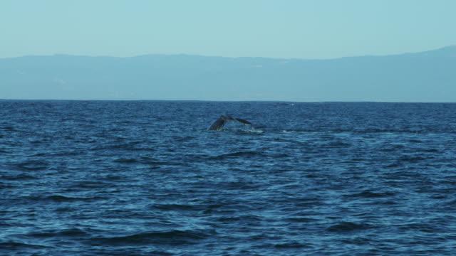 humpback whale tail fluke mammal swimming pacific ocean - blåshål djurkroppsdel bildbanksvideor och videomaterial från bakom kulisserna
