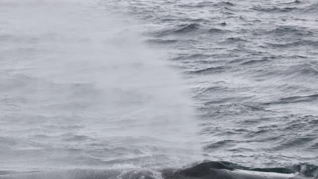 humpback whale tail fluke - blåshål djurkroppsdel bildbanksvideor och videomaterial från bakom kulisserna