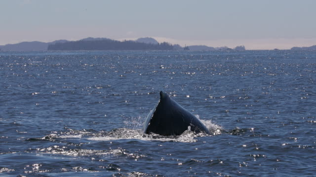 humpback whale tail fluke with alaska background - whale stock videos & royalty-free footage