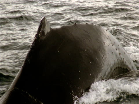 a humpback whale tail submerges in the waters of antarctica. - tail stock videos & royalty-free footage