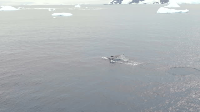 humpback whale tail submerging and icebergs - dramatic sky stock videos & royalty-free footage