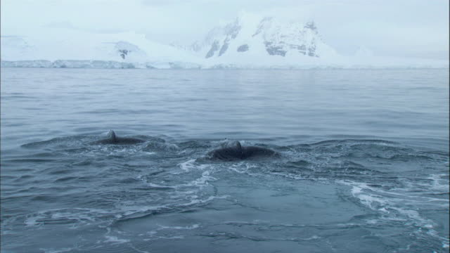 humpback whale tail - animal fin stock videos and b-roll footage