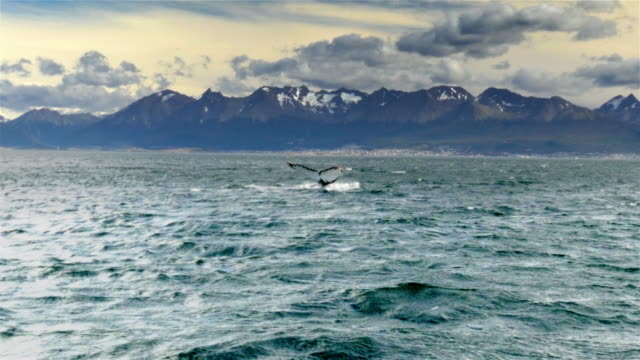humpback whale tail while submerging in the beagle channel - humpback whale stock videos & royalty-free footage