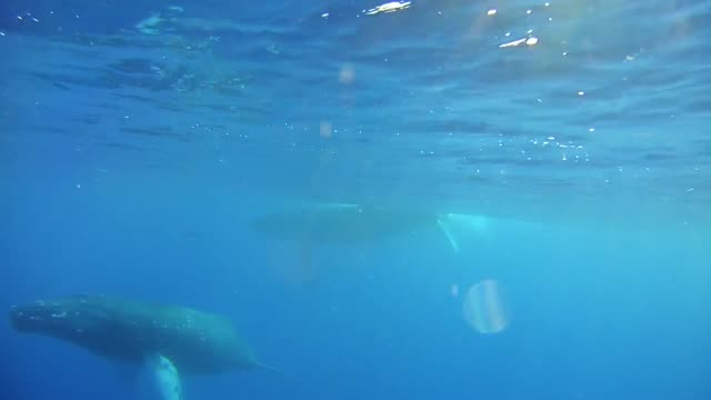 humpback whale underwater - cetacea stock videos & royalty-free footage