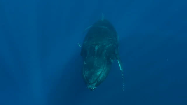 humpback whale underwater - humpback whale stock videos & royalty-free footage