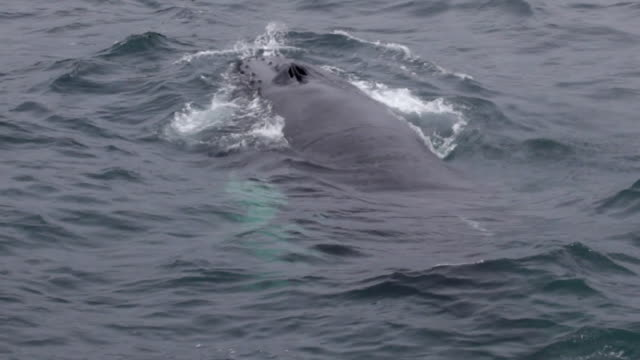 humpback whale - james whale stock-videos und b-roll-filmmaterial