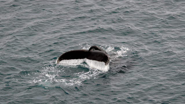 humpback whale - antarctica whale stock videos & royalty-free footage