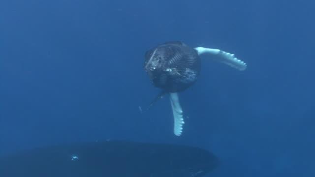 humpback whale - atlantic ocean stock videos & royalty-free footage