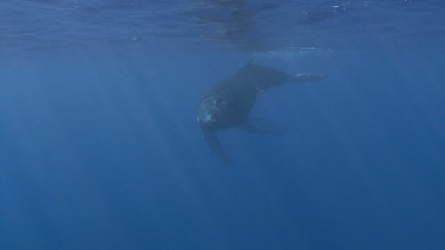 stockvideo's en b-roll-footage met humpback whale - zeedieren