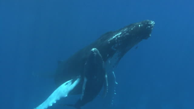 humpback whale - dominican republic stock videos & royalty-free footage