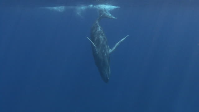 humpback whale - whale stock videos & royalty-free footage