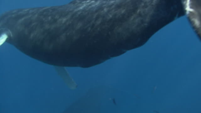 stockvideo's en b-roll-footage met humpback whale - atlantische oceaan