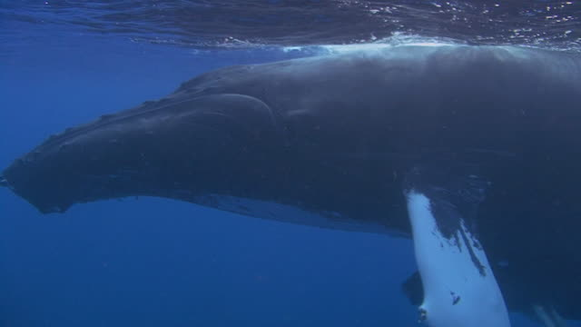 humpback whale - turks and caicos islands stock videos and b-roll footage