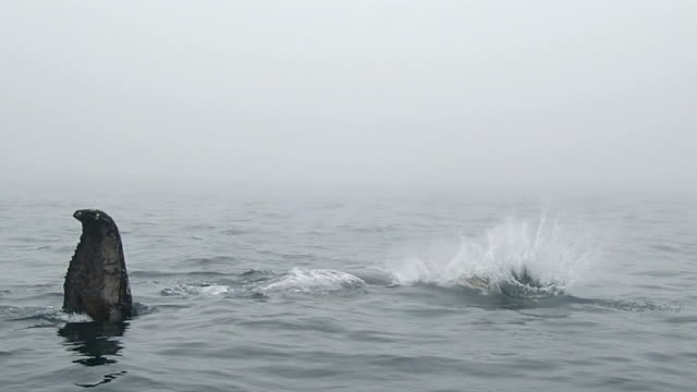 humpback whale - tail fluke stock videos & royalty-free footage
