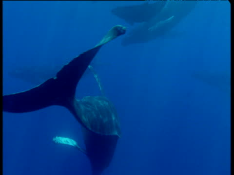 Humpback whale wafts flukes in direction of camera, Hawaii
